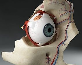Anatomy eye with skull cut-section 3D