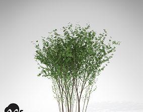XfrogPlants European Spindle Tree 3D model