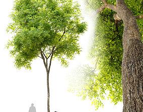 Ulmus parvifolia dynasty- Dynasty chinese elm 3D