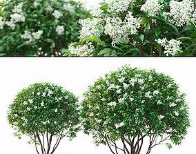 season Ligustrum flowering 01 3D model