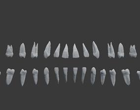 Human Teeth Highly Detailed 3D printable model