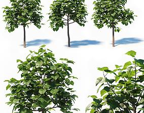 Paulownia Elongata 3D