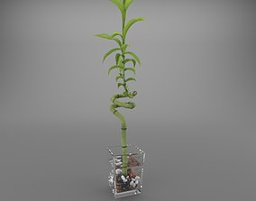 Indoor plant Dracaena sanderiana 3D