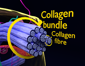 connective tissue elements labelled 3D