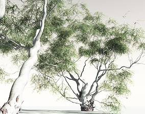 oceania EVERYPlant River Red Gum 08 -- 6 Models