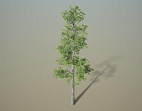 Southern poplar tree 3D model