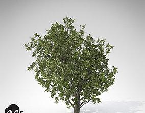 Common Hawthorn 3D model