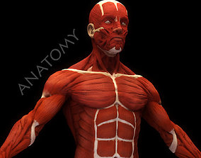 3D Anatomical human muscles