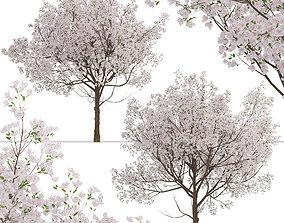 3D model Set of Yoshino Cherry or Prunus yedoensis Trees 2