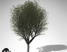 3D model XfrogPlants Silver Linden