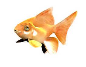 Goldfish moorish 3D model