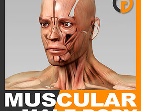 Human Male Body and Muscular System - Anatomy 3D