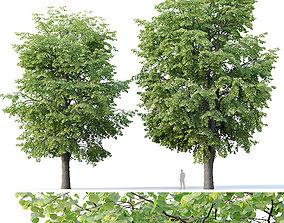Tilia europaea Nr 10 H16-18m Two adult trees 3D