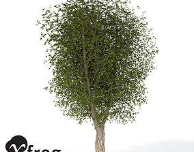 XfrogPlants Oriental Planetree 1 3D model