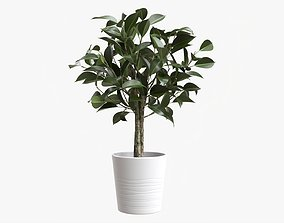 3D model Rubber plant ficus in decorative pot