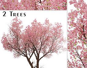 3D Sakura or Cherry Blossom or Prunus Cerasus Tree - 2