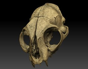 3D model High definition scan of a cat skull with texture