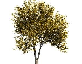 Ash-tree 3 3D model