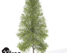 3D model XfrogPlants Tuliptree