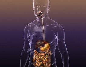 3D model Digestive System in a Human Body
