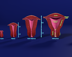3D uterus stages cut section animated labelled