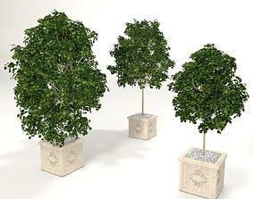 3D model Ficus benjamina 3x pot plant