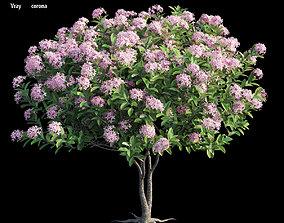 ixora plant set 25 3D