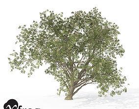3D model XfrogPlants Elderberry 1