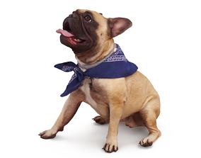 3D asset French Bulldog Posed