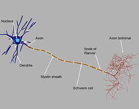 Detailed neuron 3d model
