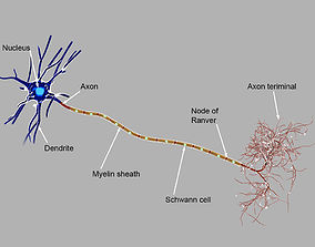 Detailed neuron 3D