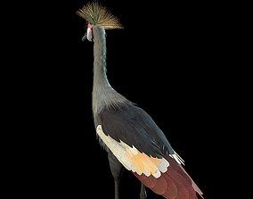 Grey Crowned Crested Crane 3D model