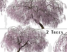 Set of Weeping Cherry or Prunus pendula Tree - 2 3D model