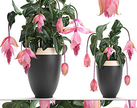 Collection Exotic plants Medinilla magnifica 3D