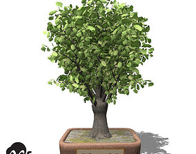 3D model XfrogPlants Ginkgo - Bonsai