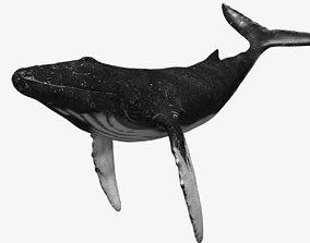 Humpback whale 3D asset