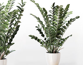 Amazing plant Zamioculcas in white vase 3D