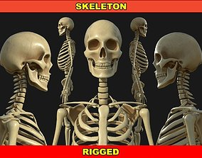 3D model VR / AR ready Rigged Human Skeleton