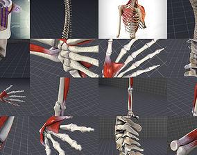 Upper Skeletal System 3D model