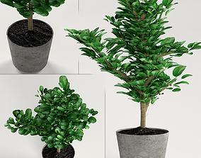 3D Indoor plants - decorative ficus