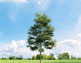 Quercus palustris 011 v2 AM136 3D