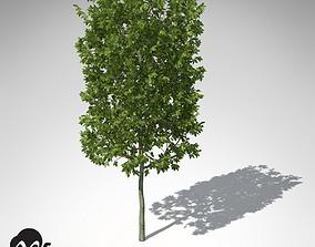 XfrogPlants European Hornbeam 3D model