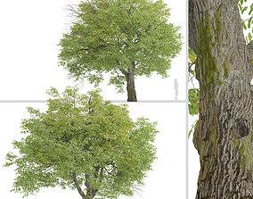 3D Set of English Walnut or Juglans regia Trees - 2 Trees