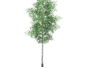 Silver Birch Betula pendula 21m 3D
