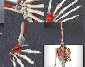 3D Upper Muscular System