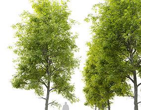 Fraxinus americana- White ash 3D