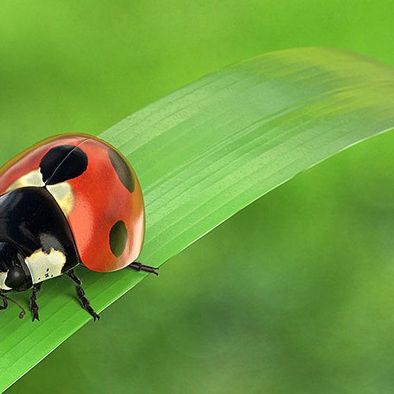 Ladybug on a leafe