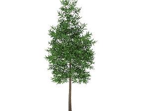 Scots Pine Tree Pinus sylvestris 8m 3 3D