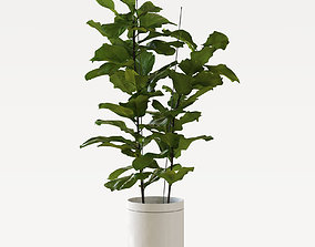 3D Ficus Lyrata potted