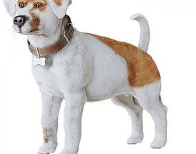 3D model Jack Russell Terrier